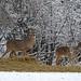 White-tailed Deer (Sax-Zim Bog)