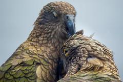 Preening Kea ll (fate atc) Tags: arthurspass bird kea mountainparrot nz newzealand southisland affection beak cheeky couple endangered intelligent preening tongue wildlife