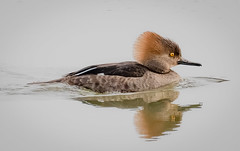 Young Hooded Merganser (tresed47) Tags: 2020 202001jan 20200123newjerseybirds birds canon7dmkii content ducks ebforsythenwr folder hoodedmerganser january merganser newjersey peterscamera petersphotos places season takenby us winter