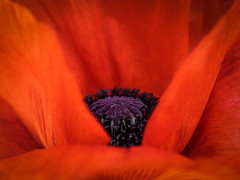 the treasure inside - Der Schatz im Inneren (ralfkai41) Tags: makro plant macro mohn garden nature blüte garten blume flower poppy blossom natur pflanze
