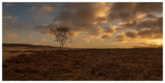 Feeling Alone. (Ian Emerson (Thanks for all the comments and faves) Tags: lonetree curbar curbaredge tree sunrise clouds colourful heather winter alone hiking peakdistrict derbyshire landscapephotography landscape outdoor canon6d canon