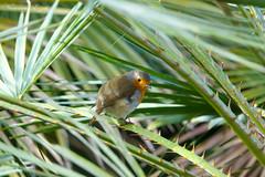 Rouge-gorge familier Robin (Ezzo33) Tags: france gironde nouvelleaquitaine bordeaux ezzo33 nammour ezzat sony rx10m3 parc jardin oiseau oiseaux bird birds rougegorgefamilier robin