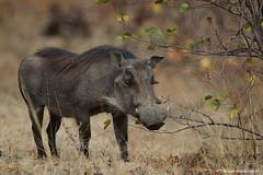 Male Warthog (leendert3) Tags: leonmolenaar southafrica krugernationalpark wildlife wilderness wildanimal nature naturereserve naturalhabitat mammal warthog