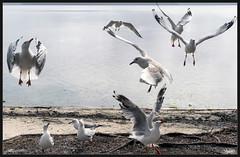 Seagulls in flight (itsallgoodamanda) Tags: seagulls seagullsinflight amandarainphotography australia australiassouthcoast photography photoborder beach birds seaweed sand shoalhaven shoreline ocean itsallgoodamanda
