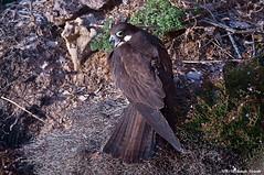 Falco della regina _018 (Rolando CRINITI) Tags: falco falcodellaregina uccelli uccello rapaci uccellidapreda birds panorama avifauna isoladisanpietro sardegna natura carloforte oasilipu
