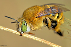 Abeille solitaire Amegilla sp (g.cordel) Tags: macro abeille bee amegilla insecte insect nikon sigma