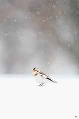 ''La neige!'' Plectrophane des neiges-Snow bunting (pascaleforest) Tags: oiseau bird animal passion nikon nature neige snow québec canada winter hiver wild wildlife faune