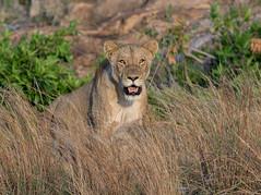 Posing in the afternoon sun (jaffles) Tags: southafrica südafrika 2018 krügernationalpark kruger knp olympus wildlife safari outdoor wild natur nature holiday