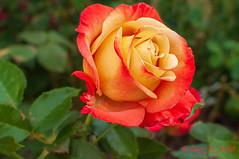 Rose (Guy_D_2018) Tags: цветок lule blumen ծաղիկ кветка цвете 花 flower 꽃 cvijet blomst flor lill kukka blodyn ყვავილების λουλούδι virág bunga bláth blóm fiore zieds gėlė цвет voninkazo fjura फूल bloem ਫੁੱਲ gul گل kwiat floare kvetina cvet blomma květina ดอกไม้ çiçek квітка hoa בלום زهرة nikon d90 fleur vauréal floralfantasy doublefantasy