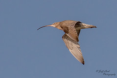 DSC5275  Curlew... (Jeff Lack Wildlife&Nature) Tags: curlew curlews bird birds animal animals coast countryside wildlife farmland wetlands fields coastline avian waterbirds wildbirds birdphotography coastalbirds nature nikon moors mudflats ornithology marshland scrapes reserves waterways moorland marshes naturephotography reservoirs wildlifephotography jefflackphotography ngc npc
