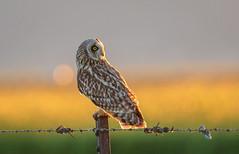 "For ""Superb Owl Sunday"" a Short-eared Owl (Bob Gunderson) Tags: asioflammeus birds california dysonlane northerncalifornia owls plumascounty shortearedowl sierras"