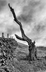 Tree (l4ts) Tags: landscape derbyshire peakdistrict darkpeak edale blackwhite monochrome upperbooth tree trunk drystonewall