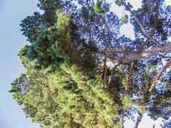 Towering 01 (davidseibold) Tags: america california morrobaystatepark sanluisobispocounty usa unitedstates jfflickr photosbydavid plant postedonflickr postedonmewe sky tree morrobay unitedstatesofamerica