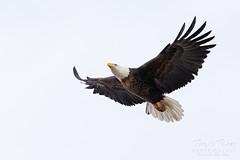 February 1, 2020 - A bald eagle prepares to land. (Tony's Takes)