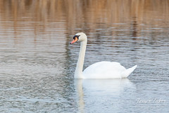 February 1, 2020 - A mute swan on a pond in Boulder County. (Tony's Takes)