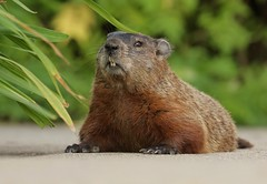 """""""Did somebody say 'GROUNDHOG DAY'?!"""" (Slow Turning) Tags: marmotamonax groundhog woodchuck rodent animal wild closeup portrait eyecontact summer southernontario canada"""