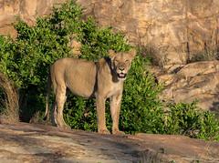 Lion on the rock 1 (jaffles) Tags: southafrica südafrika 2018 krügernationalpark kruger knp olympus wildlife safari outdoor wild natur nature holiday