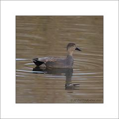 Gadwall (prendergasttony) Tags: bird duck border birding birdwatching dabbling d7200 wild reflection water nikon wildlife feathers elements rspb tonyprendergast
