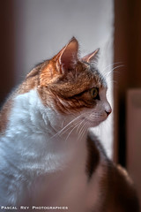 _DSC2645AL (Pascal Rey Photographies) Tags: cat cats katze gatto chat chats félidé félin animaux animals animalerie animales animali tiere pascalrey nikon d700 aurorahdr luminar3 skylum pascalreyphotographies