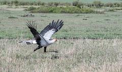 Secretarybird (Tris Enticknap) Tags: africa secretarybird kenya masaimara masaimaranationalreserve sagittariusserpentarius