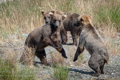 The Challengers For The Moment (TNWA Photography (Debbie Tubridy)) Tags: alaska bears brownbears katmainationalpark coastalbrownbears summer wildlife wild playing nature learning activity habitat challenging natural wilderness subadults