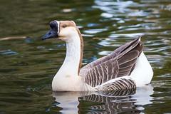 IMG_8429-Swan Goose - (Anser cygnoides) (Desert Rose Images) Tags: arizona usa bird swan goose domestic waterfowl anser cygnoides