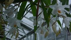 Jardin des Plantes - Rouen - 02-02-2020 - Fleurs dans les serres (jeanlouisallix) Tags: rouen jardin des plantes seine maritime haute normandie france fleurs nature horticulture serres tropicales botanique flower garden orchidées