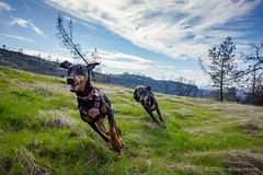 032•366 • 01 February 2020 (Doug Churchill) Tags: california doberman upperbidwellpark dogs optoutside lightroomcc project lightroomccmobile canine dobermanrescue 366 chico canines dobermanpinscher bidwellpark dobermans lightoommobile 365 dog the 2020 edition3662020day 3236601feb2020