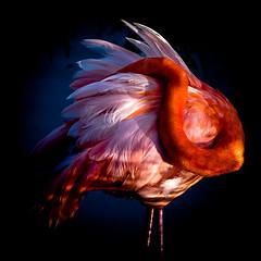 Flamingo. (Phoenicopterus ruber) Isabela Island Wetlands Complex. Puerto Villamil, Isla Isabela, Galapagos Islands, Equador. (LKungJr) Tags: galapagos flamingo colorful aves bird feathers phoenicopterusruber nature pink islaisabela puertovillamil equador