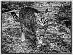 Indipendente, selvaggio, piccola tigre : il Gatto - Independent, wild, small tiger: the Cat (Eugenio GV Costa) Tags: approvato gatto gatti cat cats animal animali domesrici pet art