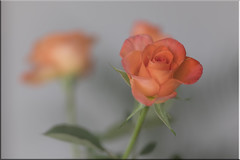 L1010198_Leica_CL_Sigma Art 85-1,4_022020_den_Rose_Happy Birthday1 (peterjh2010) Tags: flower rose plant blume leicacl
