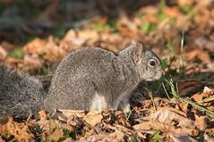 Squirrel - HSS! (JSB PHOTOGRAPHS) Tags: jsb7872 squirrel hss sliderssunday leaves autumn nikon af nikkor 300mm f4 ifed d300