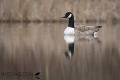 Canada goose (Matt Hazleton) Tags: canadagoose goose brantacanadensis wildlife waterfowl waterbird wildfowl nature animal outdoor bird canon canoneos7dmk2 canon500mm 500mm matthazleton matthazphoto reflection reeds