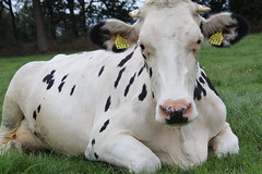 Delta Talent Ladino (excellentzebu1050) Tags: dairycows dairyfarm closeup cattle cow animal livestock grass outdoor animalportraits coth5