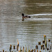 20200129 0055 Ferruginous -Tufted Duck Hybrid Possibly Upton Warren Worcestershire