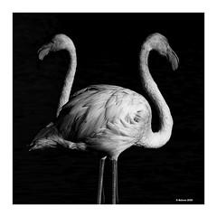 Doppelkopf... (Babaou) Tags: frankreich france camargue parcornithologique pontdegau flamingo flamant sw bw nb luberon2019 100400mm eos760d dxopl provence