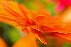 Ecliptical (L@nce (ランス)) Tags: flower petal orange macro micro nikkor nikon 40mmf28micronikkordxafs victoria canada