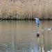 20200129 0056 Heron Gadwall Duck Upton Warren Worcestershire
