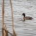 20200122 0009 Ferruginous -Tufted Duck Hybrid Possibly Upton Warren Worcestershire