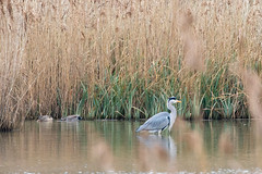 Photo of 20200122 0014 Heron Gadwall Upton Warren Worcestershire