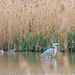 20200122 0014 Heron Gadwall Upton Warren Worcestershire