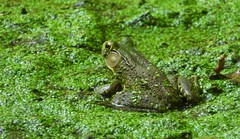 4156e2  waiting on groundhog sighting results.... (jjjj56cp) Tags: frog greenfrog amphibian inthewild pondlife duckweed green glenwoodgardens cincinnati oh ohio cincinnatiohio closeup macro details p1000 coolpixp1000 nikoncoolpixp1000 jennypansing greatparks summer september