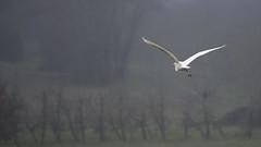Grande aigrette (eric.courant) Tags: grande aigrette oiseau oiseaux bird birds photo animalière mayenne d850 nikon 200 500
