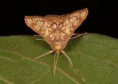 Crambid Moth (Neoanalthes sp., Crambidae) (John Horstman (itchydogimages, SINOBUG)) Tags: insect macro china yunnan itchydogimages sinobug entomology canon moth lepidoptera crambidae