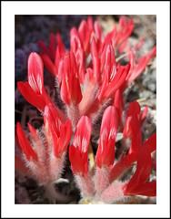 Alabama Hills Wildflowers (AussieinUSA) Tags: scarletmilkvetch astragaluscoccineus 2020wildflowers 2020 wildflowers alabamahills mobiusarchlooptrail lonepine california owensvalley