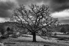 Winter Tree (l4ts) Tags: landscape derbyshire peakdistrict darkpeak cromford cromfordcanal trees blackwhite monochrome cloudscape clouds