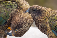 Preening Tussle (fate atc) Tags: arthurspass bird kea mountainparrot nz newzealand southisland affection beak cheeky couple endangered intelligent preening tongue wildlife