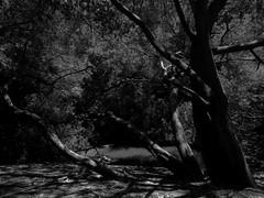 Quiet as a Forest (lugar.citadino) Tags: monochrome black white forest latinamerica americalatina southamerica sudamerica chile litoraldelospoetas puertodesanantonio ciudaddesanantonio sanantonio elquisco islanegra eltabo elmembrillo eltotoral santuariodelanaturalezaquebradadecordova quebradadecordova canon canonsx60hs canonphotography