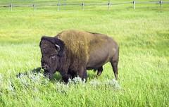 Buffalo at Grand Teton National Park (pete4ducks) Tags: bison buffalo wyoming 2019 summer animal grandtetonnationalpark green grass flickraward 500views