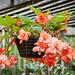 Beautiful orange begonia